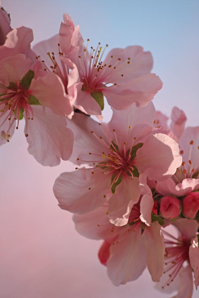 Sakura | Sakura (Japanese kanji : 桜 or 櫻; hiragana: さくら ...