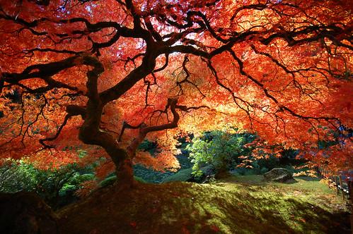 Pruning Your Japanese Maple @ West Seattle Nursery | Seattle | Washington | United States