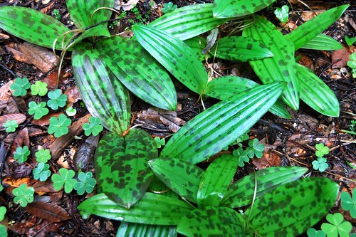 8a. Fetid Adder's Tongue | by kqedquest