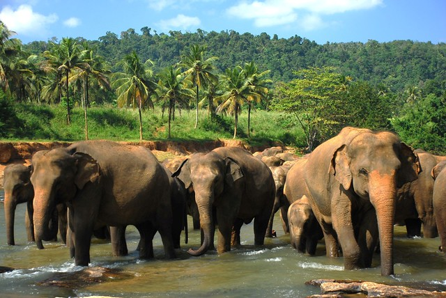 Elephant Orphanage (Pinnawela Sri Lanka) | Heshan de Mel | Flickr