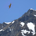 The bearded vulture - king of the Alps