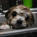 Maltese-Shihtzu puppy's first bath