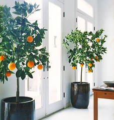 orange trees domino | by coco+kelley