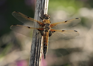 Four spotted chaser | by Clive_Bushnell