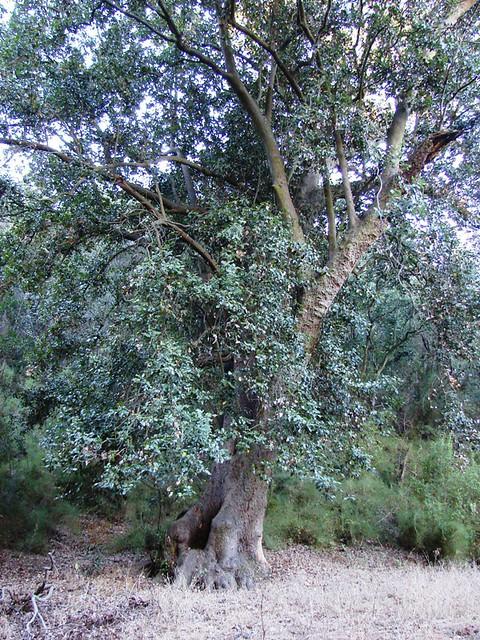 Lauraceae beilschmiedia miersii gay kosterm jard n for Jardin botanico vina