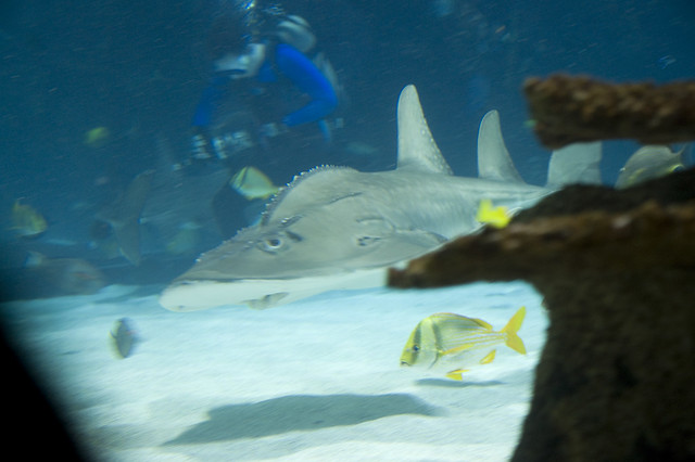 Newport Aquarium Shark Ray Lysie Flickr