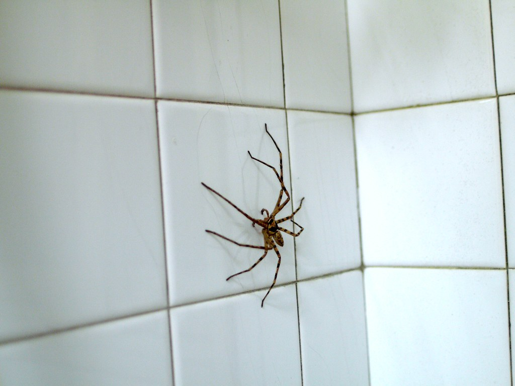 Gp1120161 Brown Huntsman Spider In The Bathroom 及良