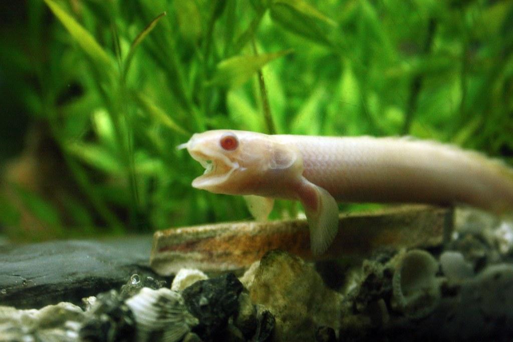 Dinosaur eel - photo#33