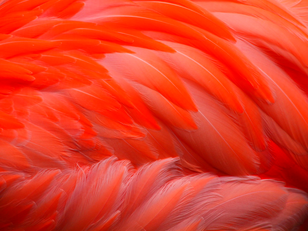 Flamingo Feathers | Closeup of a flamingo's feathers at ...