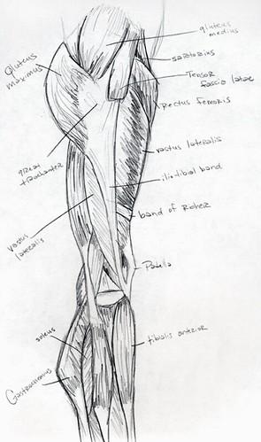 Muscles - Leg - Side View. | Anatomical illustration of leg ...