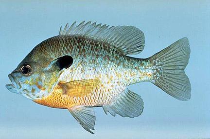 Hybrid Redbreast Sunfish (Lepomis auritus) SuperIDR Flickr