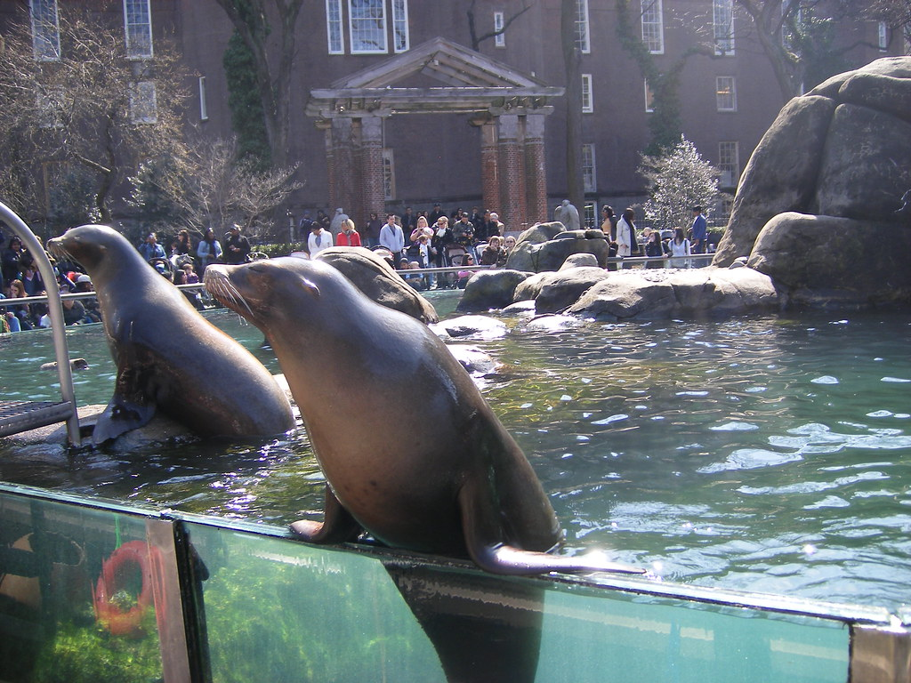 sea lions at central park zoo on the first warm day of spr flickr. Black Bedroom Furniture Sets. Home Design Ideas
