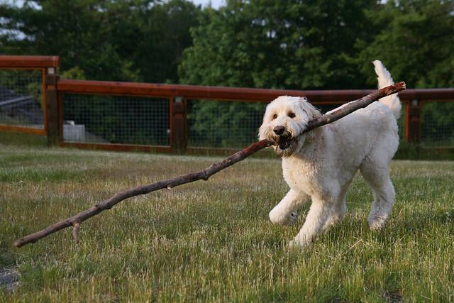 Big Dog Labradoodles Reviews