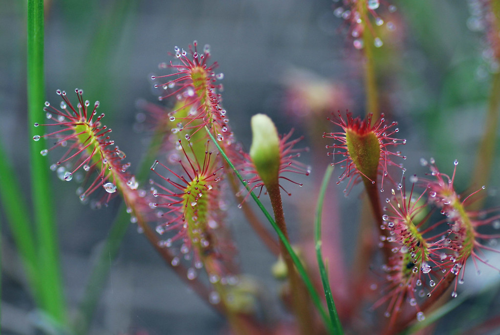 Sundew Plant Eating Sundew Insect Eating Plant