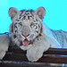 White Bengal tiger sits in front of aquarium window