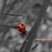 The Ladybug.