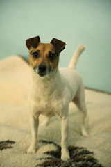 Figa, Jack Russell Terrier | by jagodzik