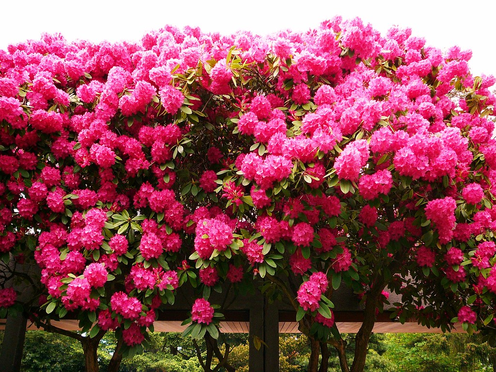 Huge rhododendron bush this rhododendron bush was one of - Rododendro arbol ...