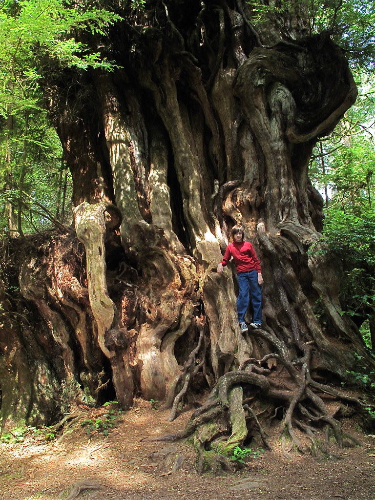 largest tree in north america