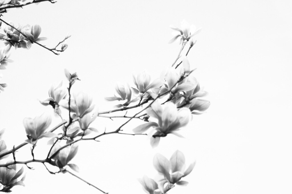Flowers on white background joao alves flickr mightylinksfo Image collections