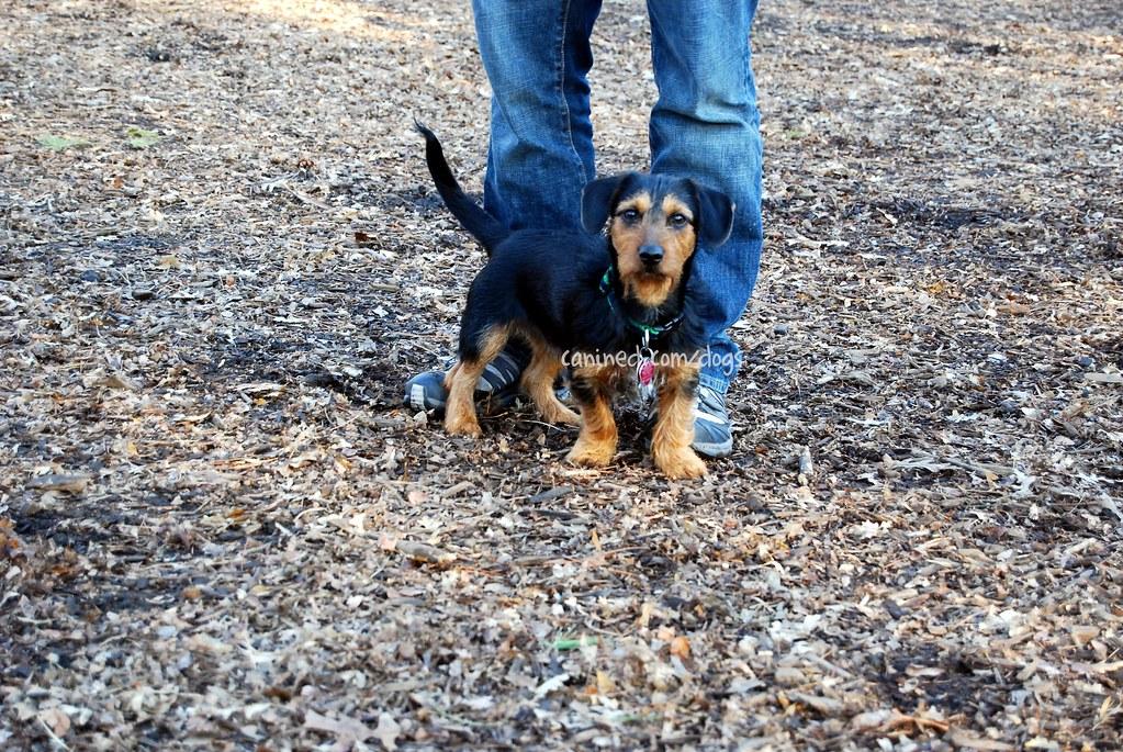 22909 Canined Dorkie Hybrid Yorkie Terrier Dachshund Cross