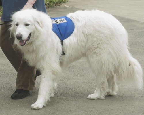 Pictures Of Great Pyrenees Dogs