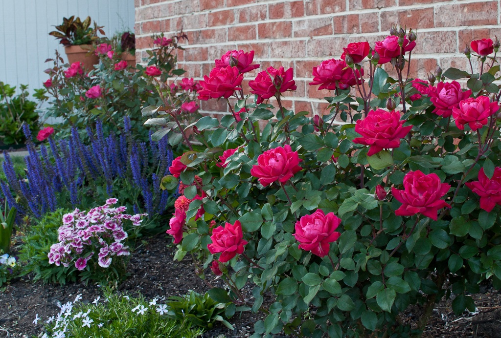 Knockout Roses and May Night Salvia | Marco Becerra | Flickr