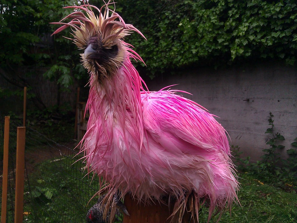 One Ugly Wet Pink Chicken She Likes To Just Stand In
