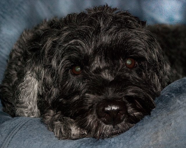 Portuguese Water Dog |...