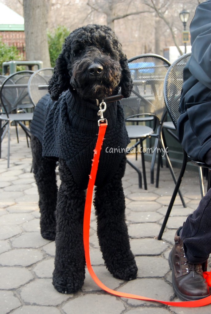 black labradoodle haircuts canined groomed black standard poodle dog central park nyc