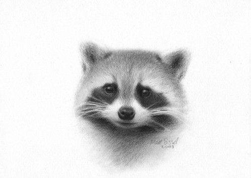 Pics For > Raccoon Drawing Raccoon Drawing