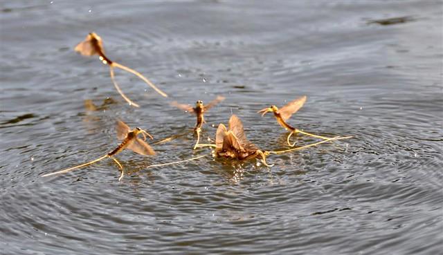Tiszavirágzás - Myfly - Palingenia longicauda