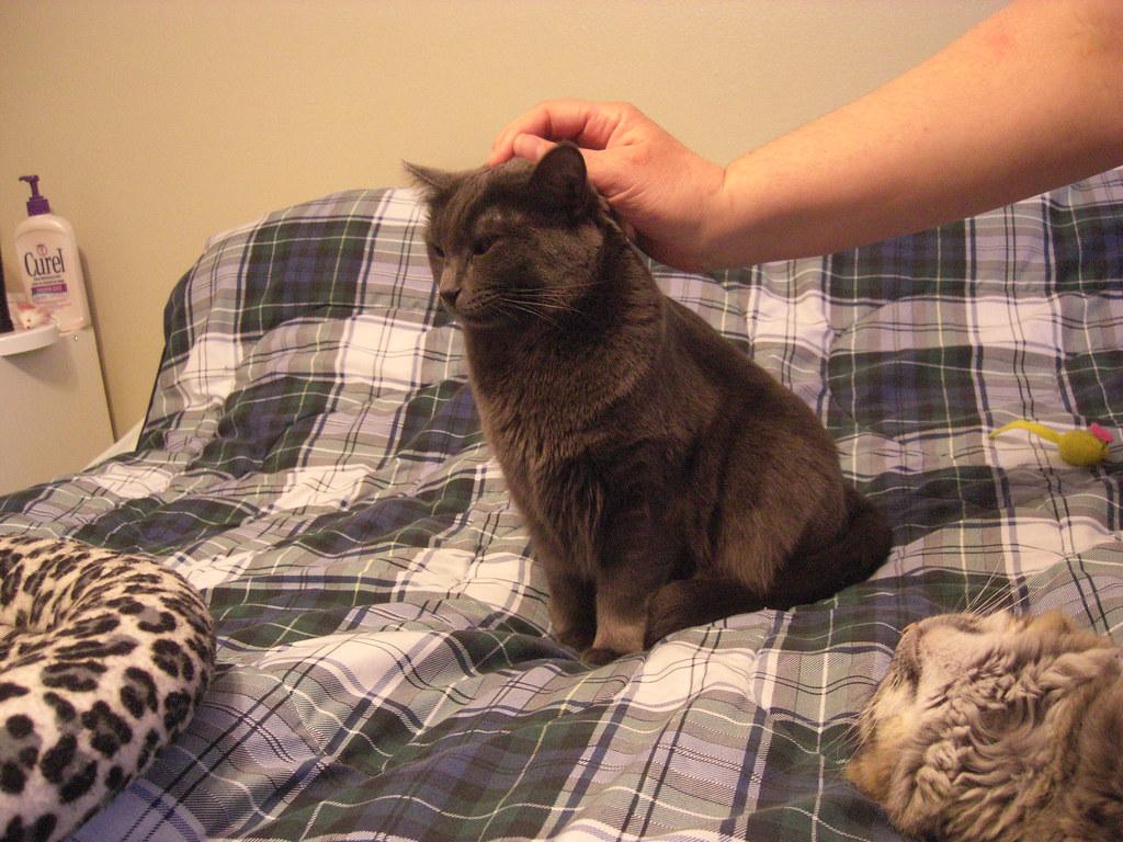 Can Cat Flees Cause Cat Aggitation And Odd Behaviour