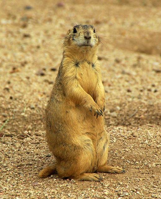 Gunnison's prairie dog (Cynomys gunnisoni) 02   Photograph ...