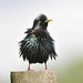Spikey Starling~