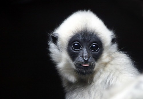 Baby Gibbon | Flickr - Photo Sharing!