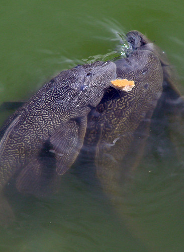 Pond plecostomus suckermouth catfish they eat algae for Algae eating fish for ponds