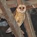 Barn Owl [ Tyto alba ]