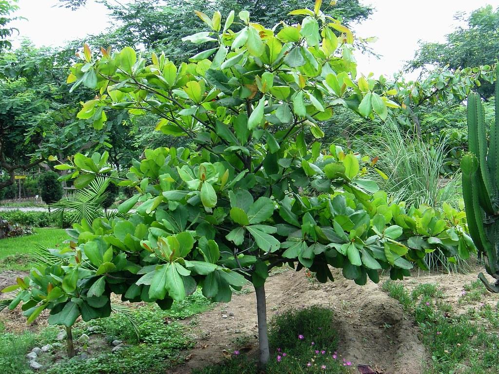 Dsc01665 arboles y plantas jard n bot nico trujillo for Arboles ornamentales jardin