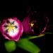 tulips by penlight