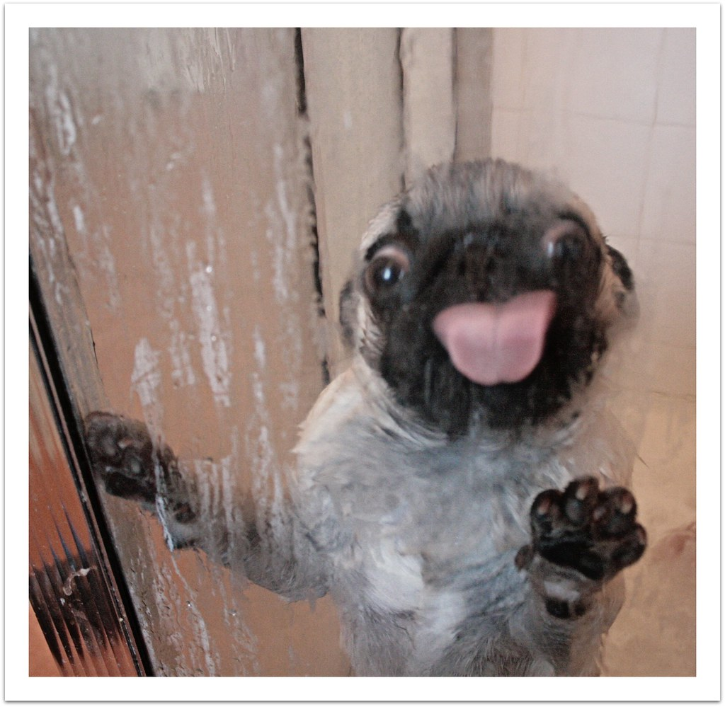 Pug Shower Time He Looks Scared But He Loves It He