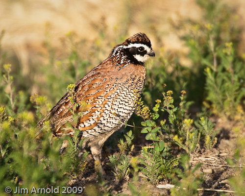 Northern bobwhite quail this was recently used in a for 151 west broadway 4th floor