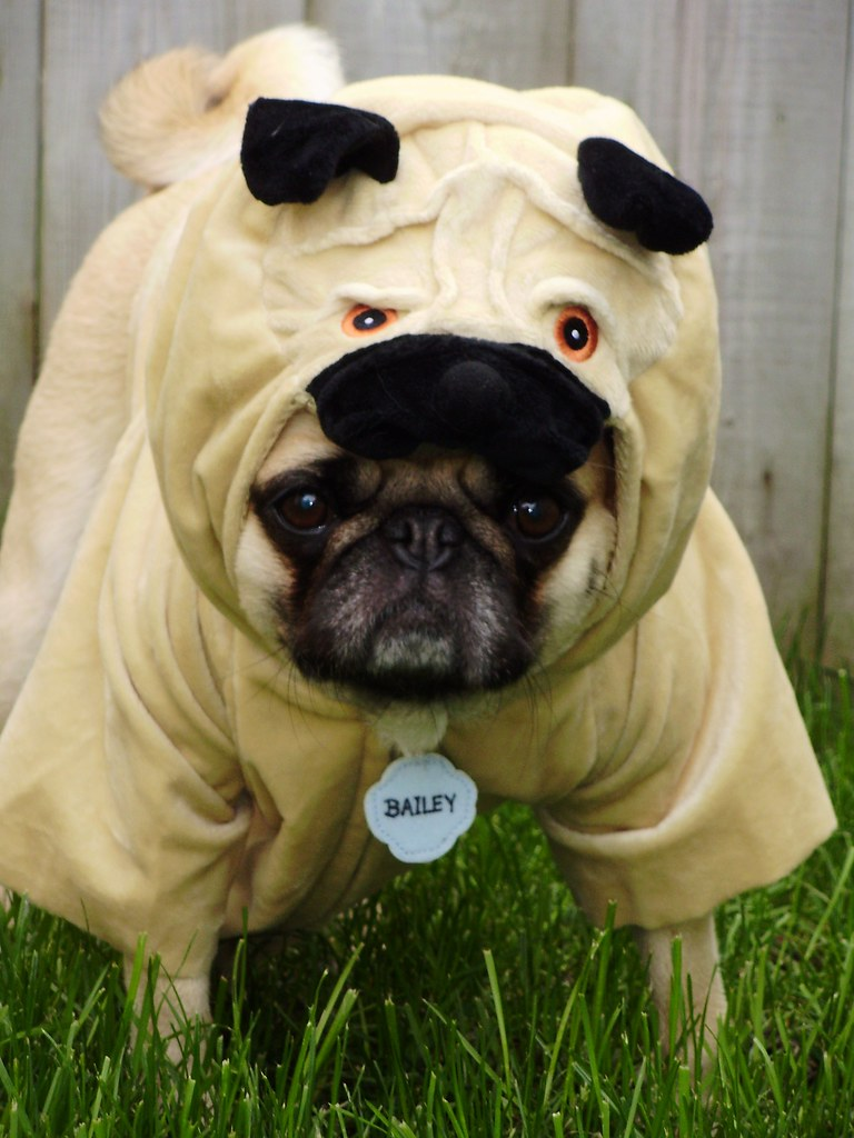 Pug Costume 'Pugception' | Cute As A Pug In A Pug | Flickr