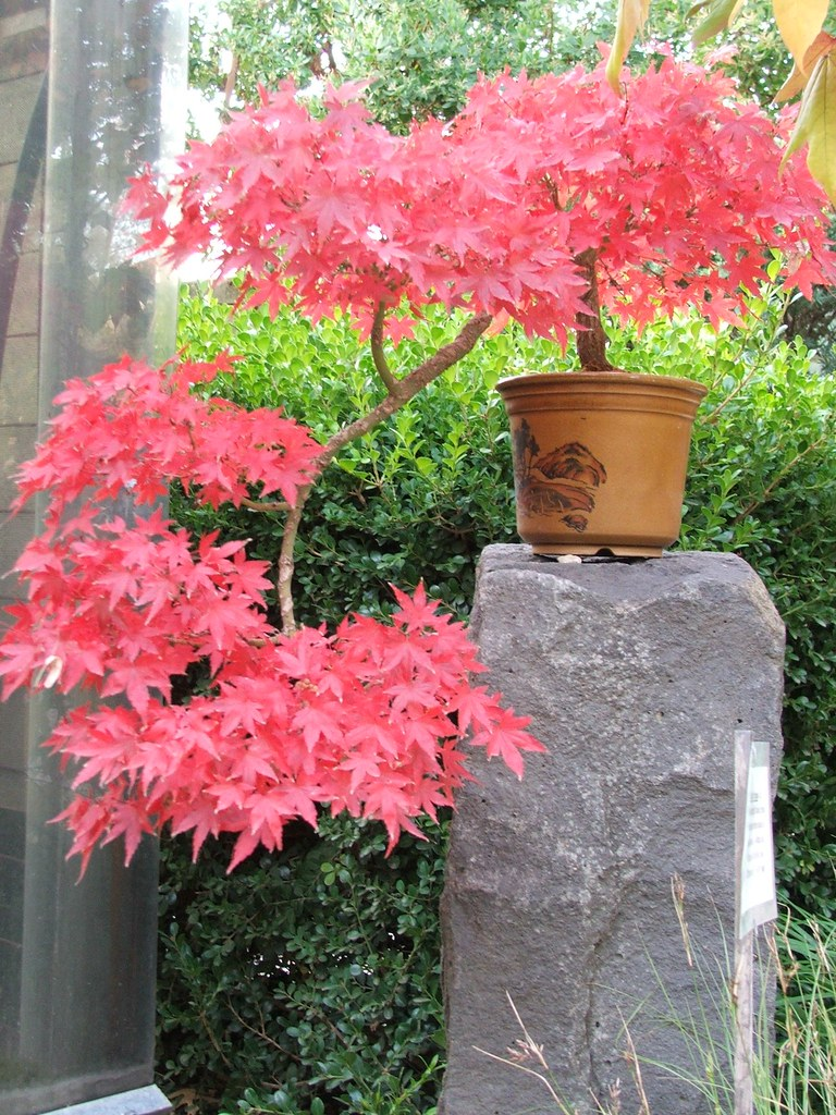 bonsai cascade japanese maple may 2009 keata flickr. Black Bedroom Furniture Sets. Home Design Ideas
