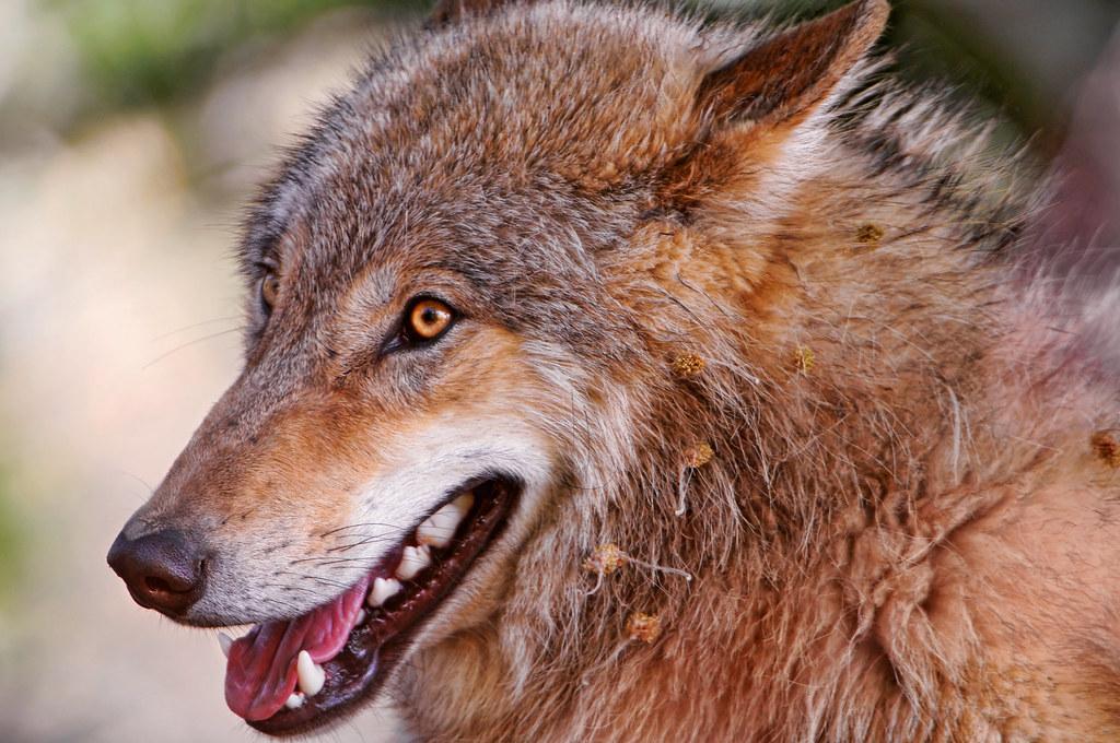 Dog Bloody Eye Hemangeoma