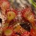 Dwarf Sundew Pant - Drosera brevifolia