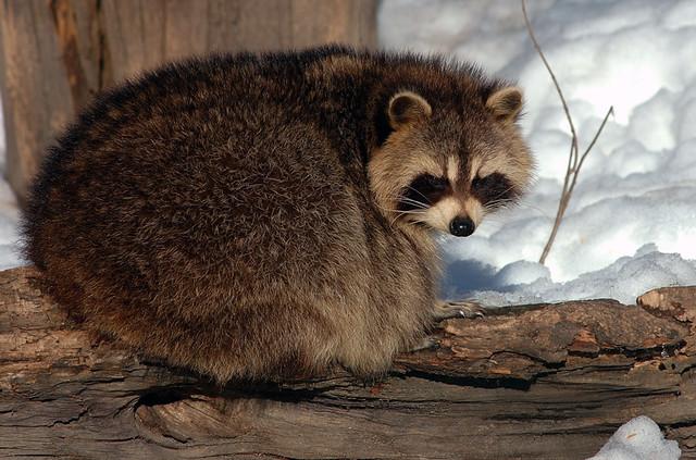 Big Fat Raccoon