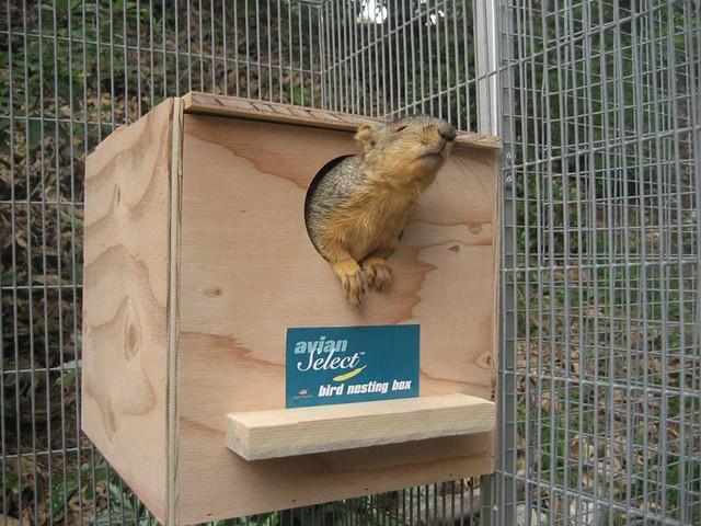 Blind Squirrel In Her Nest Box Wildlife Rehabilitation