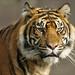 Portrait Sumatran Tiger