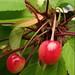 365-003 Cherry Tree